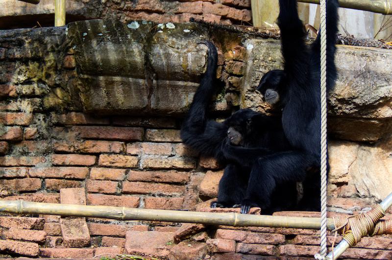 Zwei schwarze Affen in Disney's Animal Kingdom