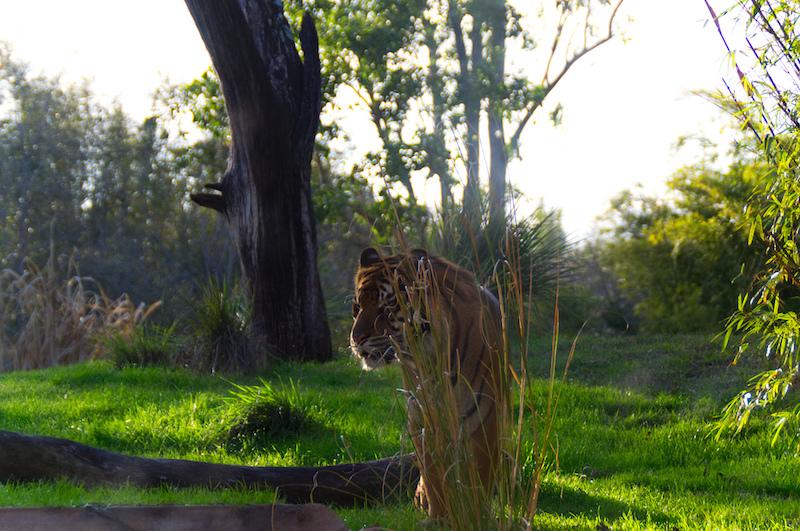 Ein Tiger in Disney's Animal Kingdom