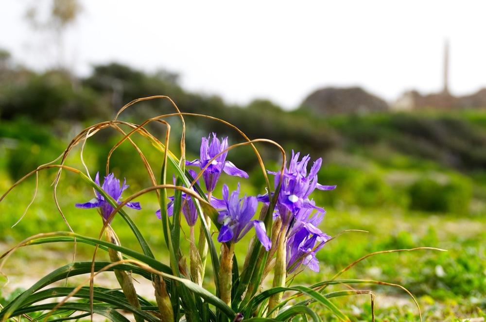 Blumen in der Bucht von Ägina mit den Ruinen des Apollon-Tempel verschwommen im Hintergrund