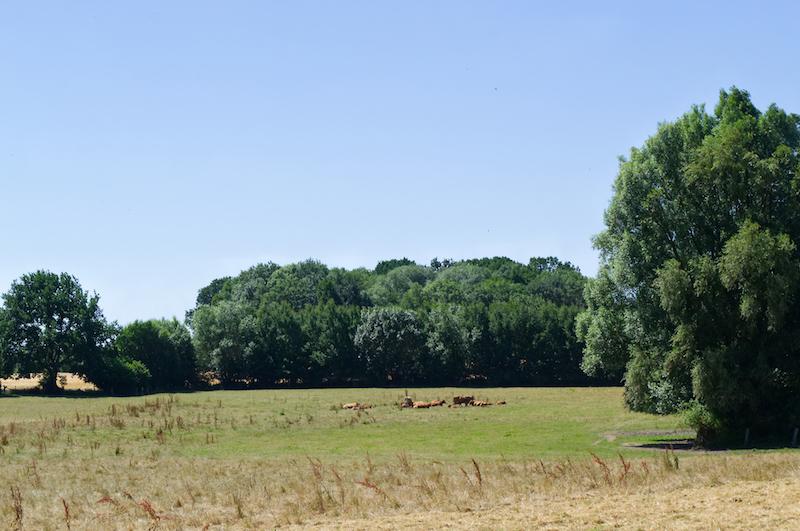 Kühe auf einer Wiese nahe Travemünde