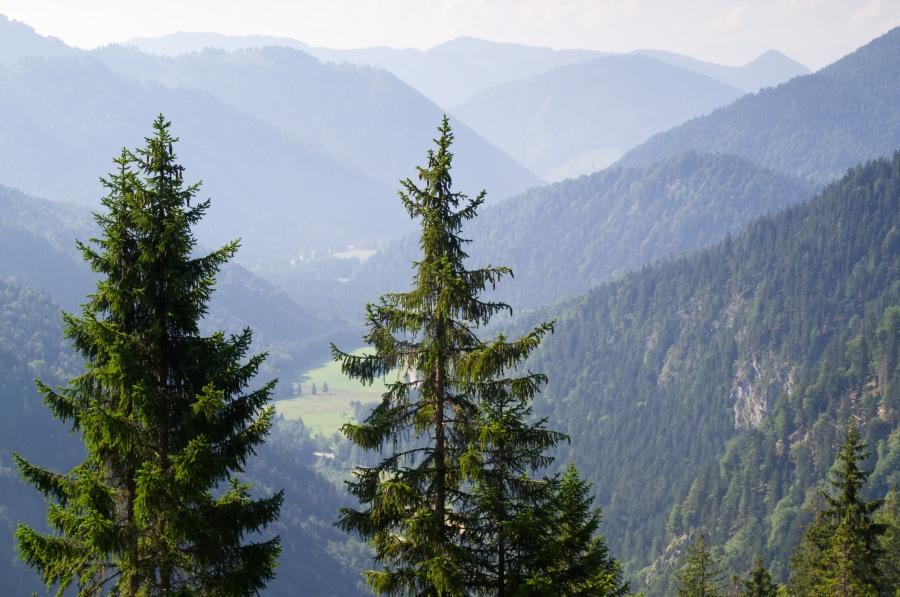 Zwei Fichten stehen vor einem tiefen Tal