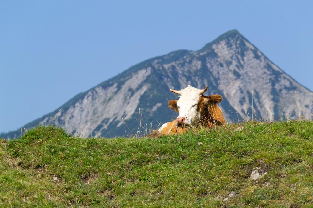 Eine Kuh auf einer Alm sonnt sich
