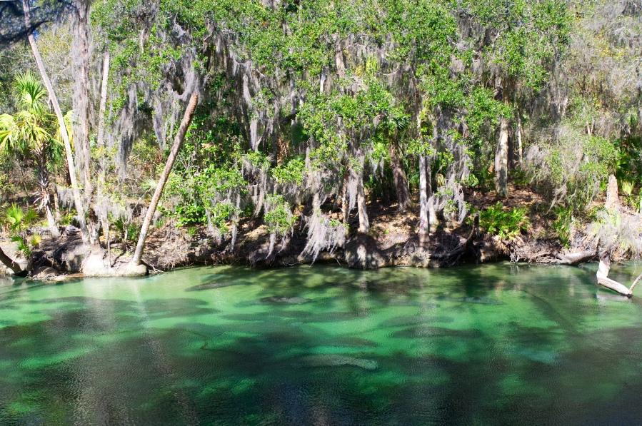 Dutzende Seekühe im Wasser der Blue Springs