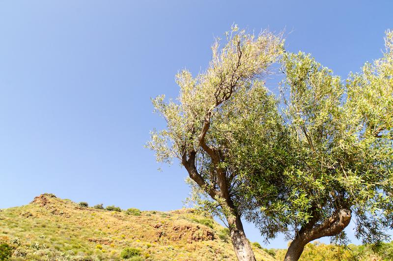 Einsamer Baum auf Lipari