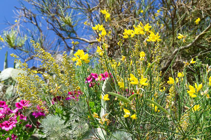 Blumen am Wegesrand auf Lipari