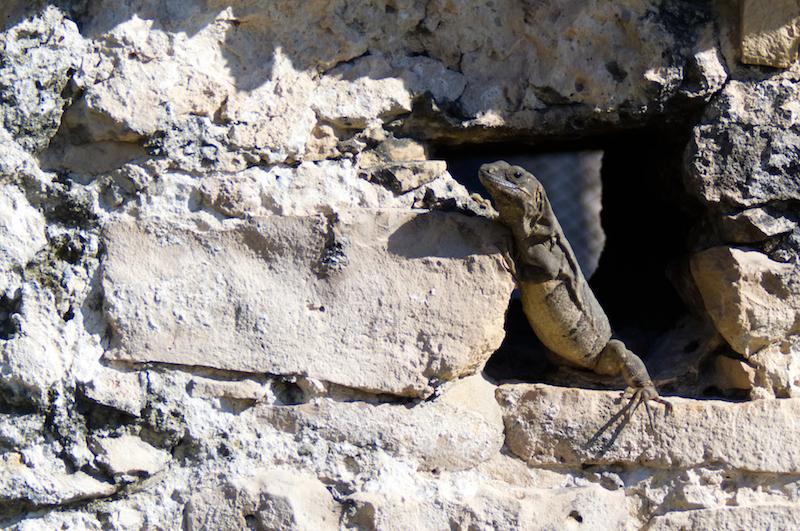 Ein Leguan sonnt sich in alten Maya-Ruinen