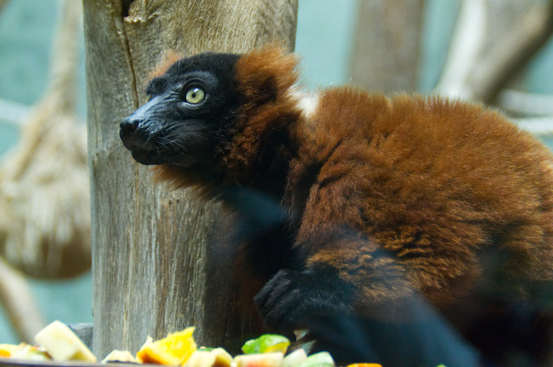 Lemur beim Frühstück