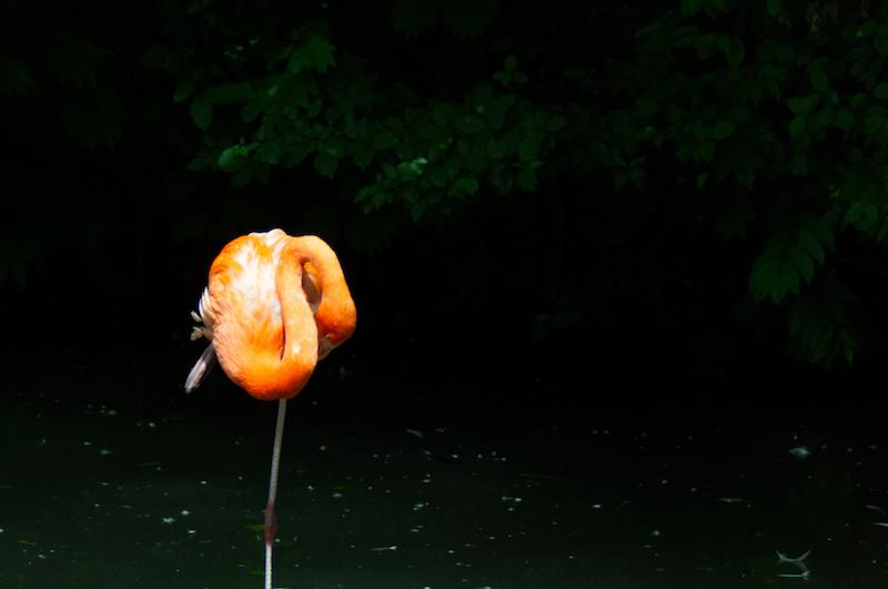 Ein ruhender Flamingo