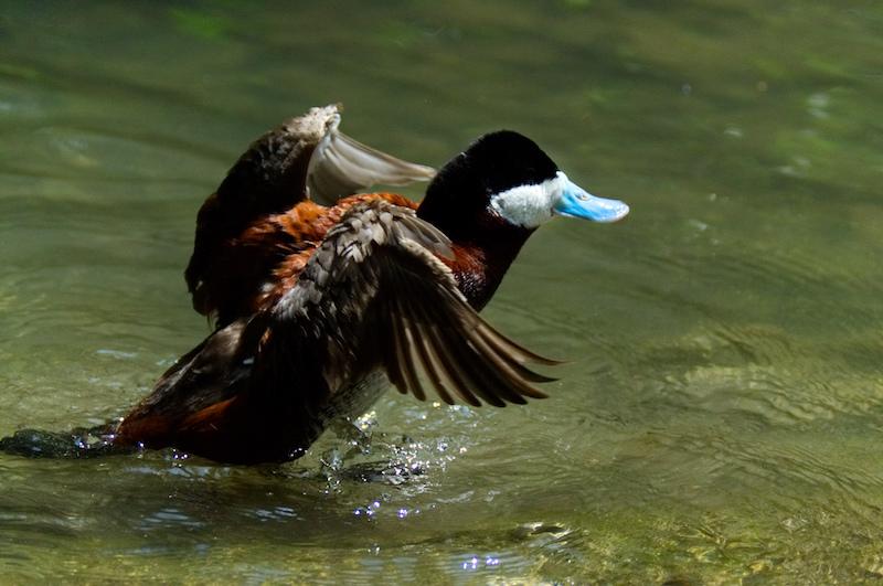 Eine Ente mit blauem Schnabel