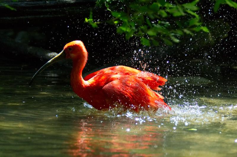 Ein rosa Ibis im Wasser