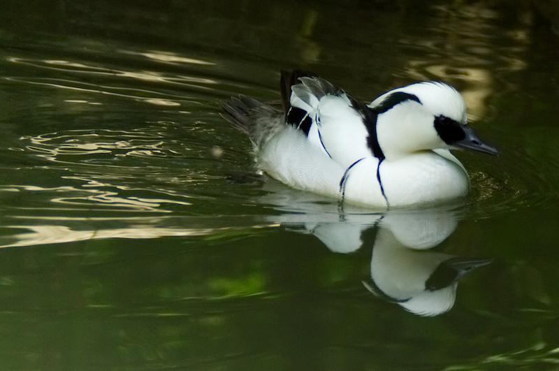 Eine weiße Ente spiegelt sich im Bach