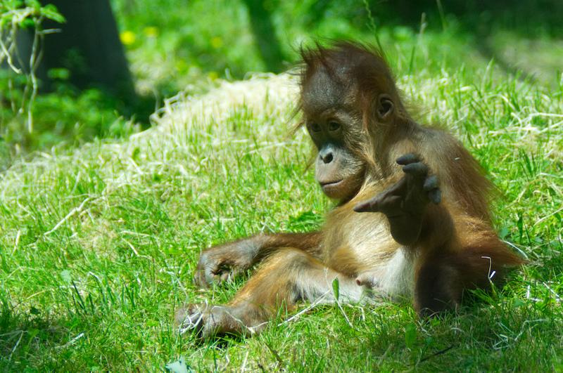 Kleiner Orang-Utan im Gras