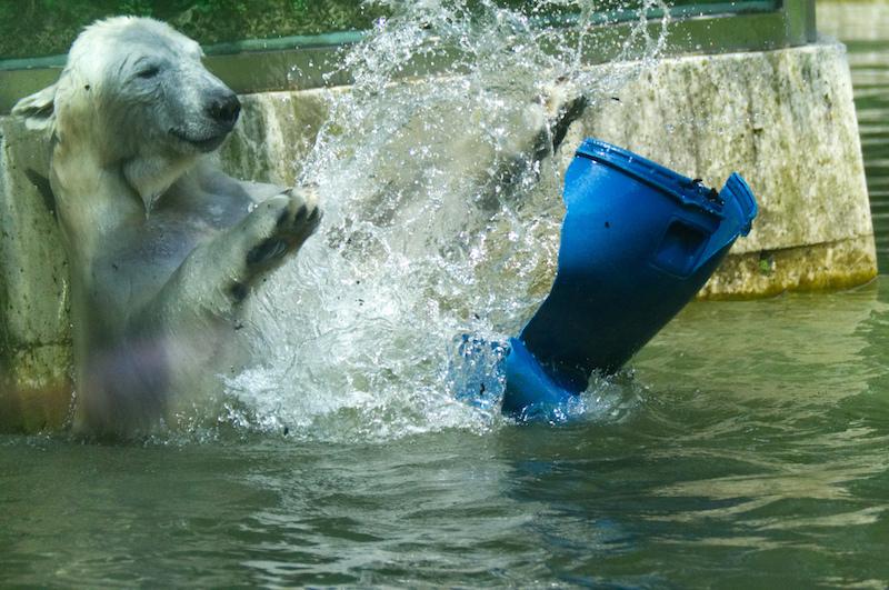 Junger Eisbär beim Spiel im Wasser