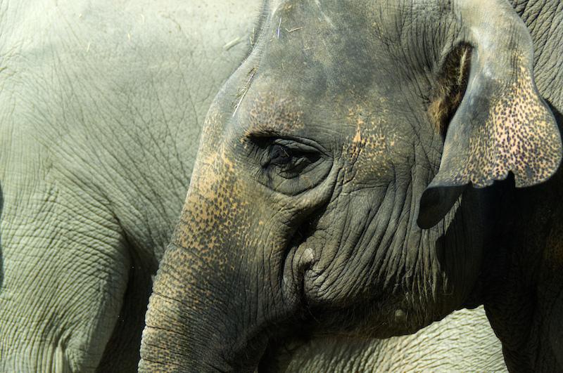 Elenfantenkopf