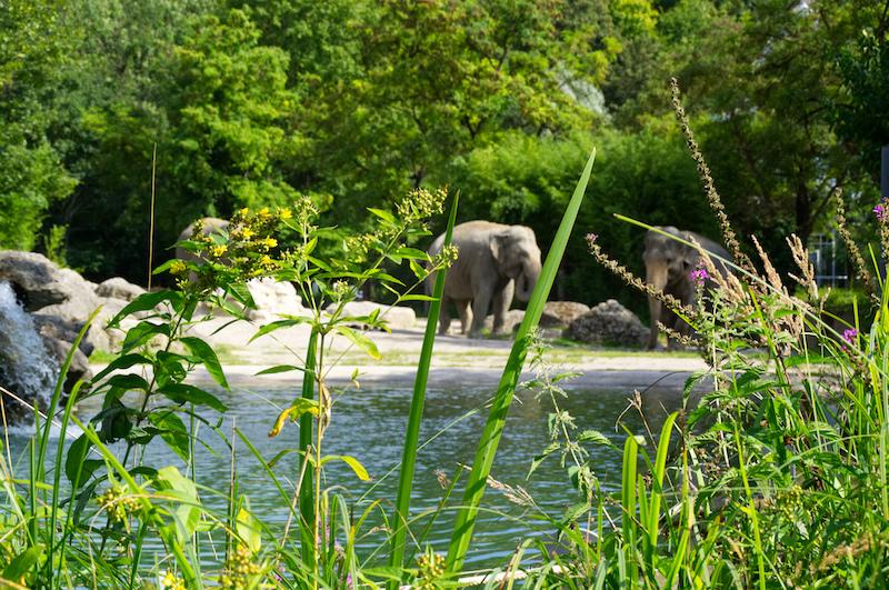 Elefanten auf ihrer Anlage im Tierpark Hellabrunn