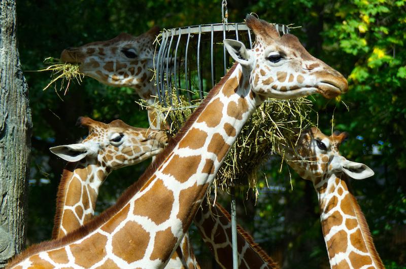 Giraffen beim Mittagessen