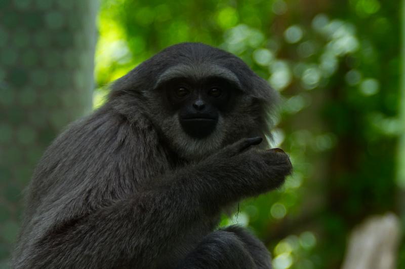 Silber Gibbon