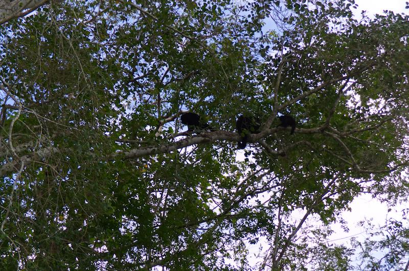 Brüllaffen in einem Baum