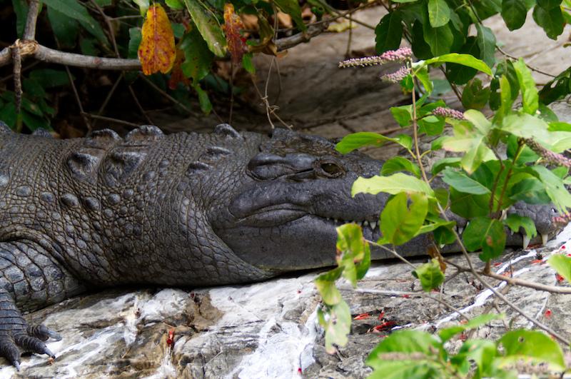 Ein Krokodil am Ufer