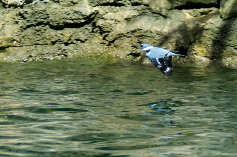 Ein Vogel knapp über dem Wasser im Flug