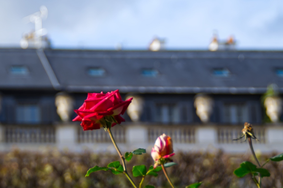 Eine blühende Rose
