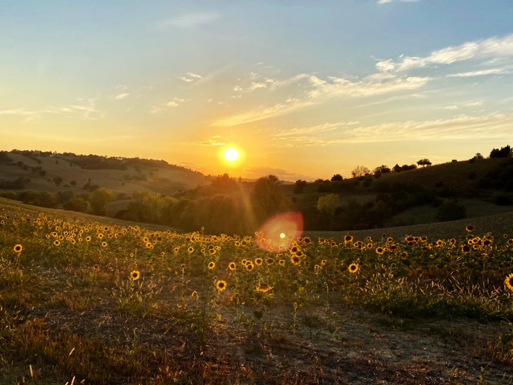 Sonnenuntergang über einem Sonnenblumenfeld in den Marken