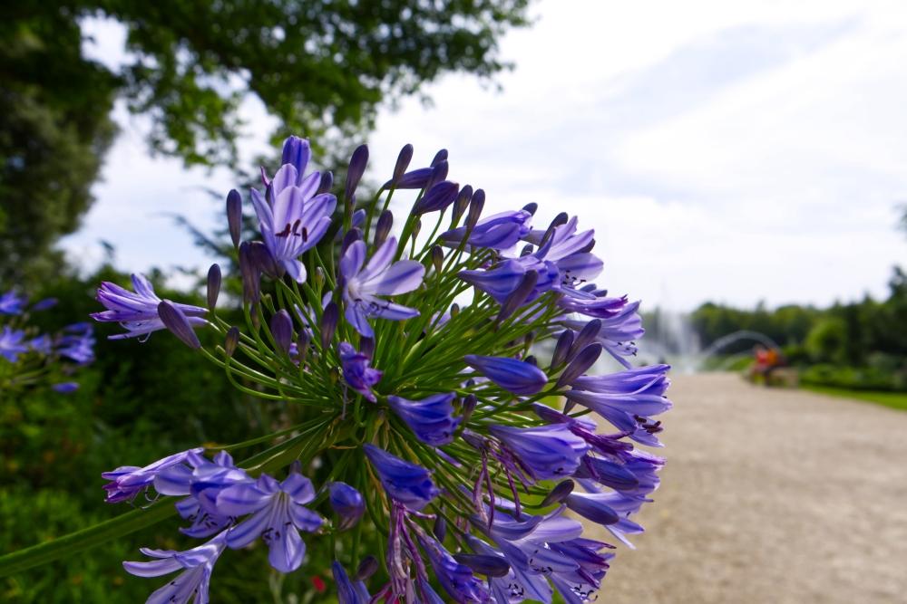 Eine lila Blume